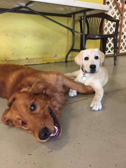 Adult golden retriever laying on side with a young yellow lab puppy sitting beside