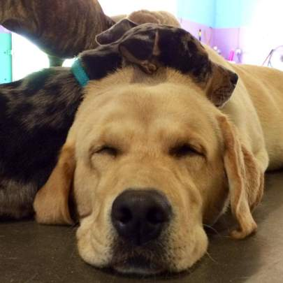 Close up of adult yellow lab sleeping on the floor with three-month-old cattle dog puppy sleeping draped across labs neck