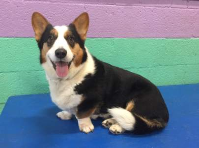 A tri-colored cardigan welch corgi sitting perpendicular on a blue platform looking at the camera