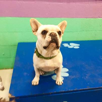 Vanilla colored French bulldog sitting on a blue wooden box