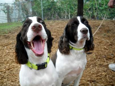 Two liver colors springer spaniels sitting beside each other