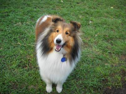 A smiling sable sheltie standing in the grass