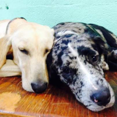 Close up of faces of a yellow lab and blue merle Catahoula sleeping cheek to cheek