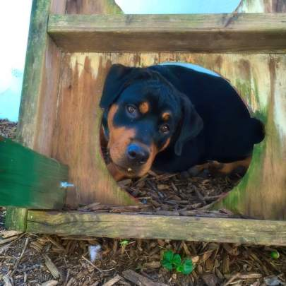 Young rottweiler looking through a hole in wooden water dishes