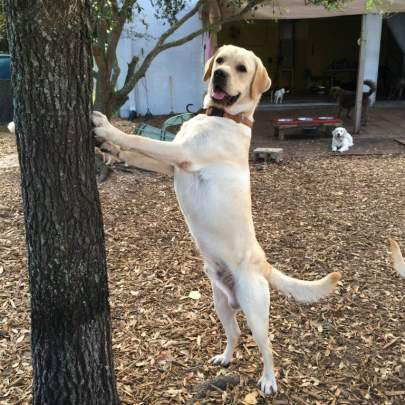 An adult male yellow lab standing on hind legs with front legs on oak tree looking for squirrels