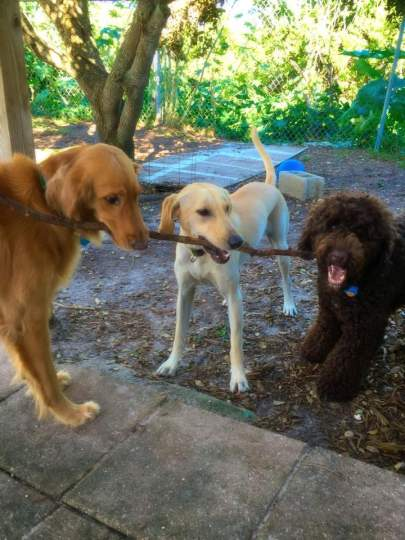 Three dogs holding stick left to right golden, yellow lab, chocolate doodle
