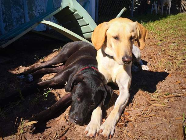 Great Dane and Yellow Lab