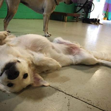 An English cream golden retriever lying belly up on the floor