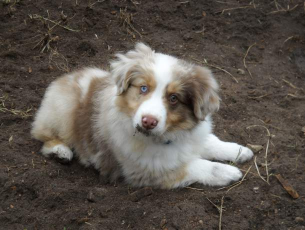 A very young red merle Australian shepherd puppy lying in the dirt