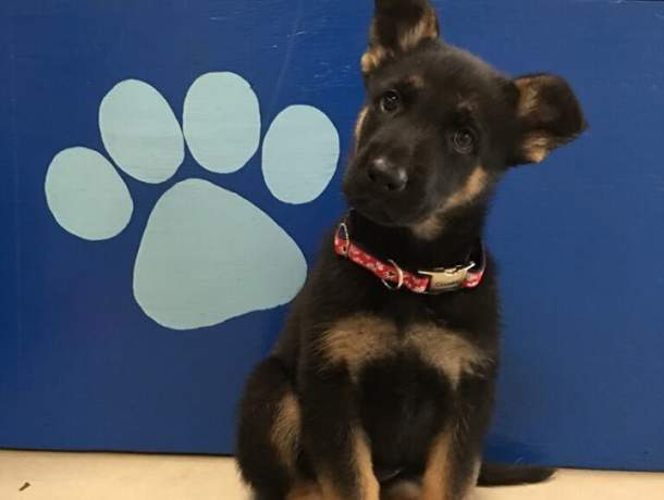 Black and tan German shepherd puppy sitting with blue background head cocked looking at the camera