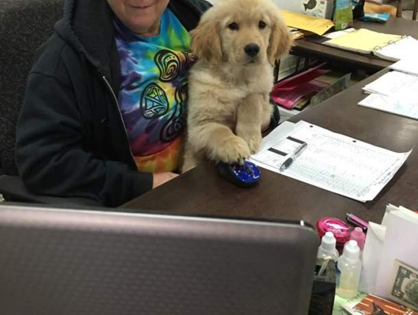 Lady sitting at the desk with golden retriever puppy in the lap