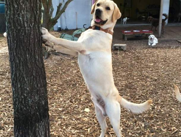 Yellow lab on hind legs leaning on a tree