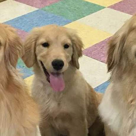 Three Golden Retrievers on the play mats looking to their left