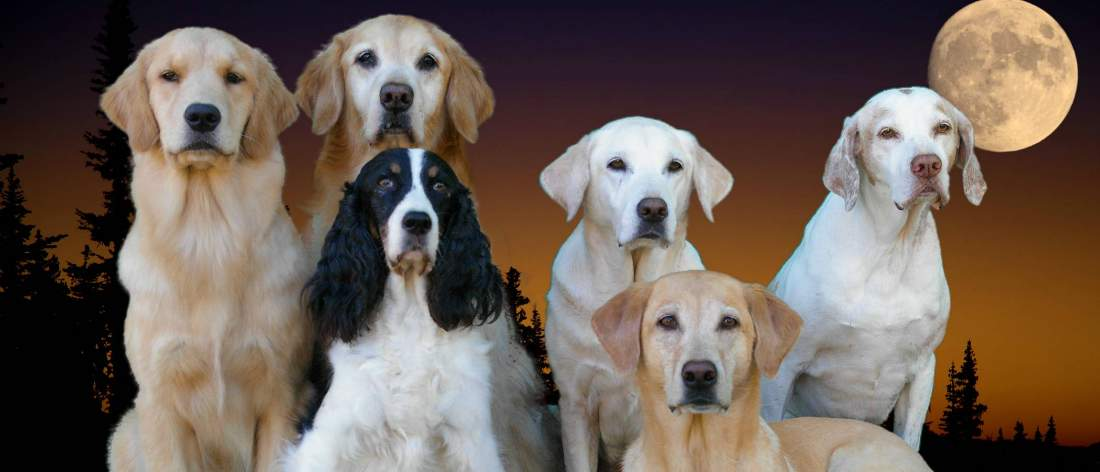 Five dogs sitting side by side with one lying in front. Left to right golden retriever, golden retriever, springer spaniel, yellow lab, pointer. Yellow lab lying late sunset with full moon background.