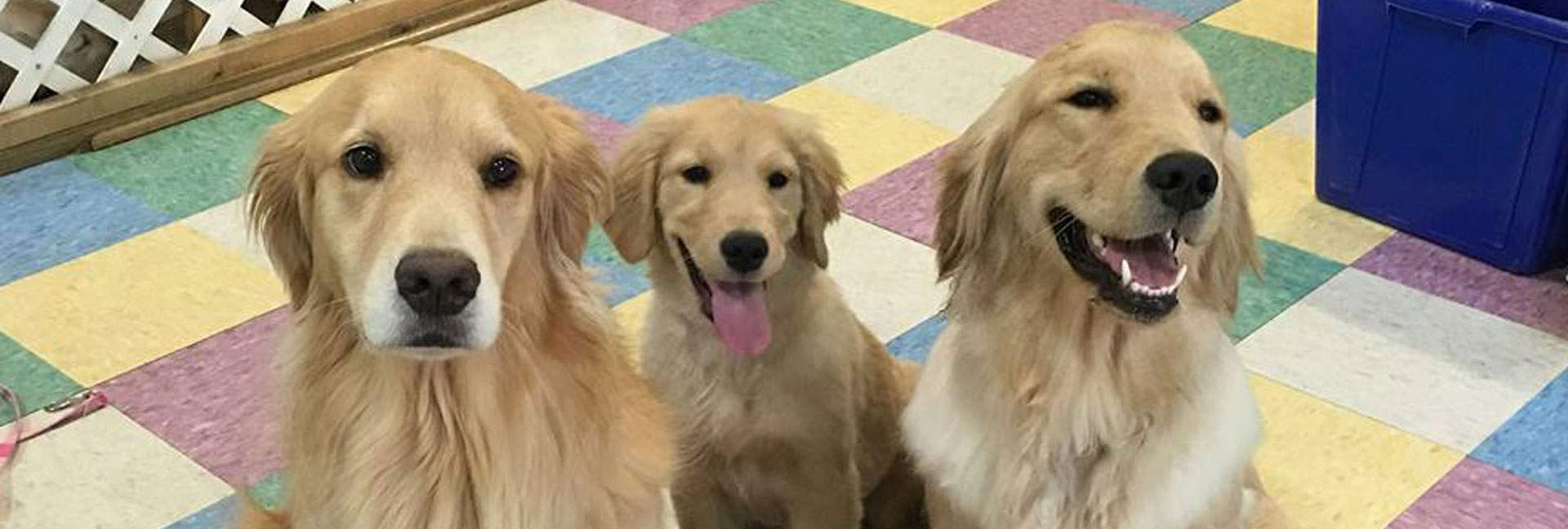 Golden Retrievers all related, 6yo, 6mo, 1yr
